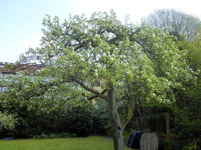 Pear tree in our garden