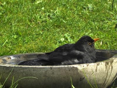 a blackbird taking a bath