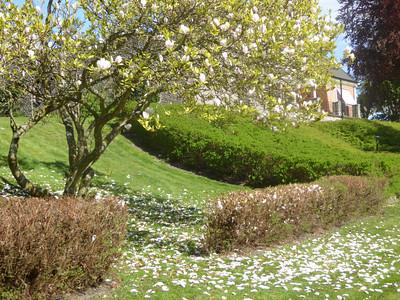 Magnolia in Ängelholm