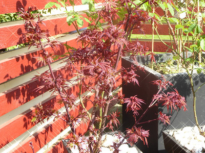 Japanese maple blood
