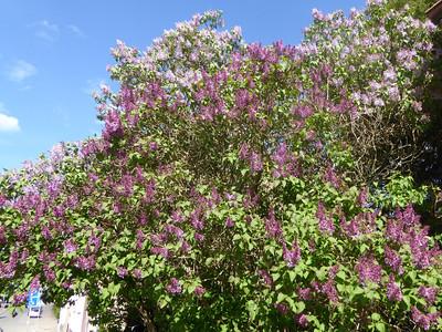 Our lilac towards the neighbor