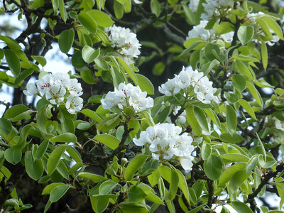 Blooming pear tree
