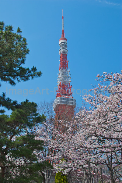 Tokyo Tower at cherry blossom time