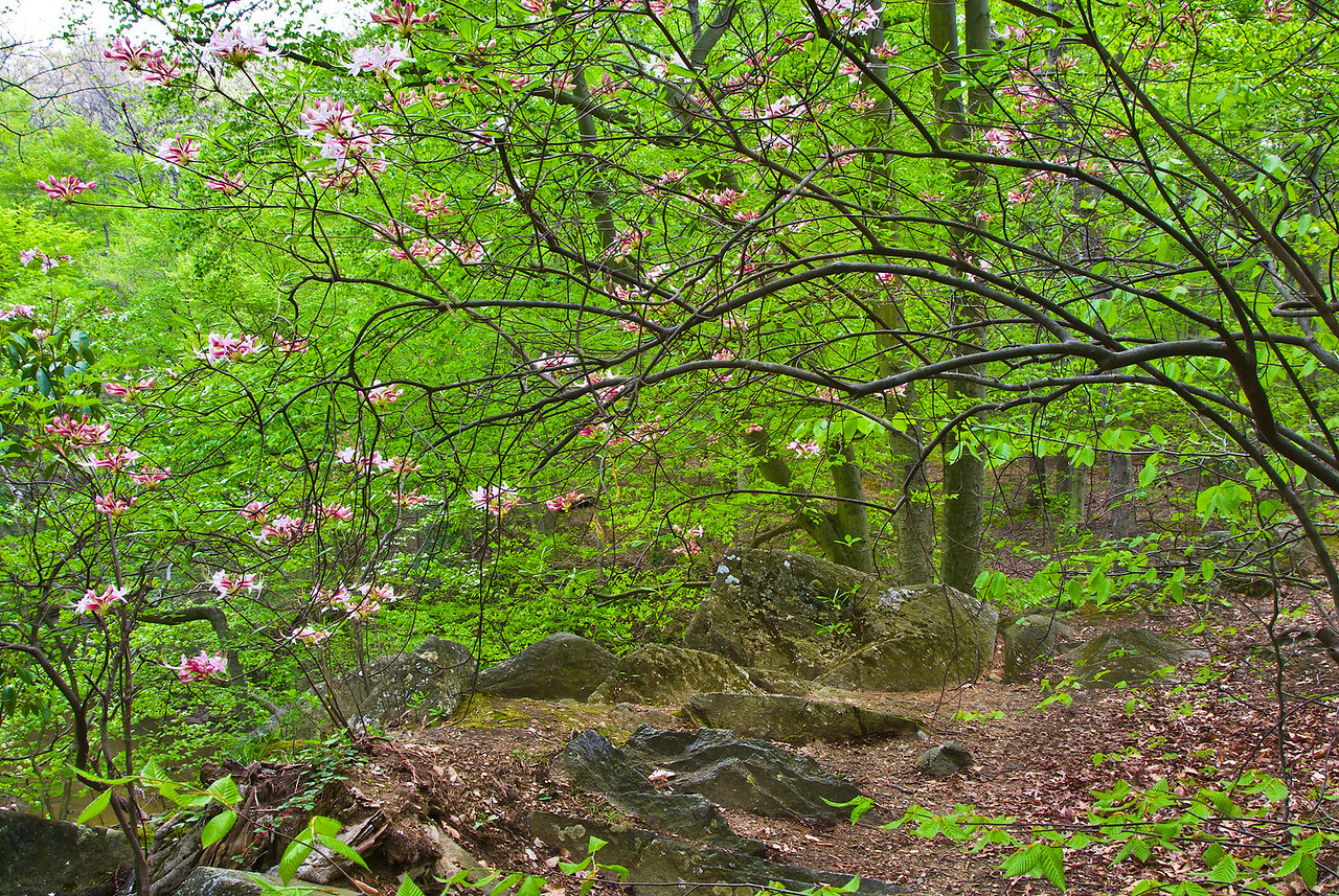 Pinxterbloom azalea (Rhododendron periclymenoides syn. R. nudiflorum) blooms on a rocky ledge in Rock Creek Park.