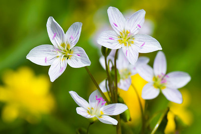 A closeup look at spring beauty (Claytonia virginica) blossoms reveals that their pink coloration comes from the veins and anthers that higlhight the delicate white blossoms.
