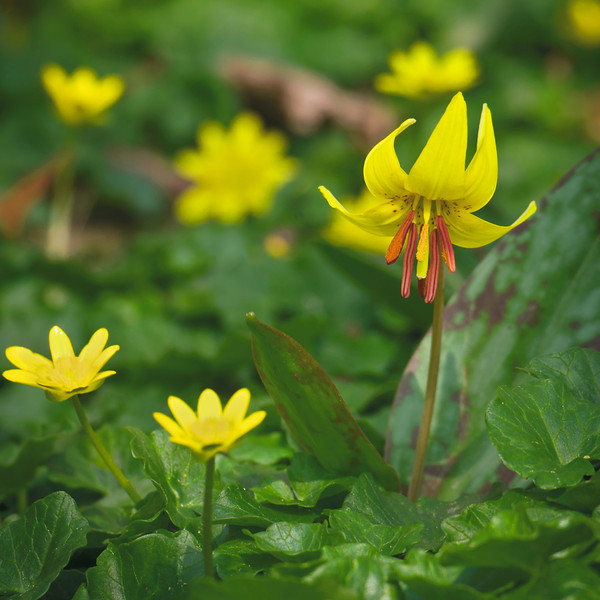 A wash of yellow blossoms lights up the woodland floor in spring in Rock Creek Park. However, the native troutlily (Erythronium americanum) can barely raise its flowers and leaves above the smoothering carpet of invaseive lesser celandine (Ranunculus ficaria).