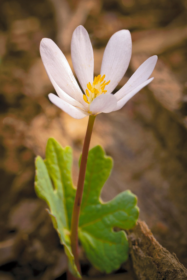 Bloodroot (Sanguinaria canadensis) is named after the orange-red sap that flows from its roots. The delicate white blossoms emerge from a wrapping of a single scalloped green leaf.