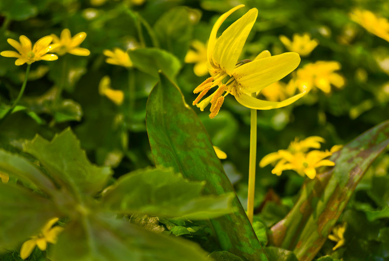 Called trout lily or doogtooth violet (Erythronimum americanum), this early spring-bloomer appears as if it wants to take flight with its sweptback petals.