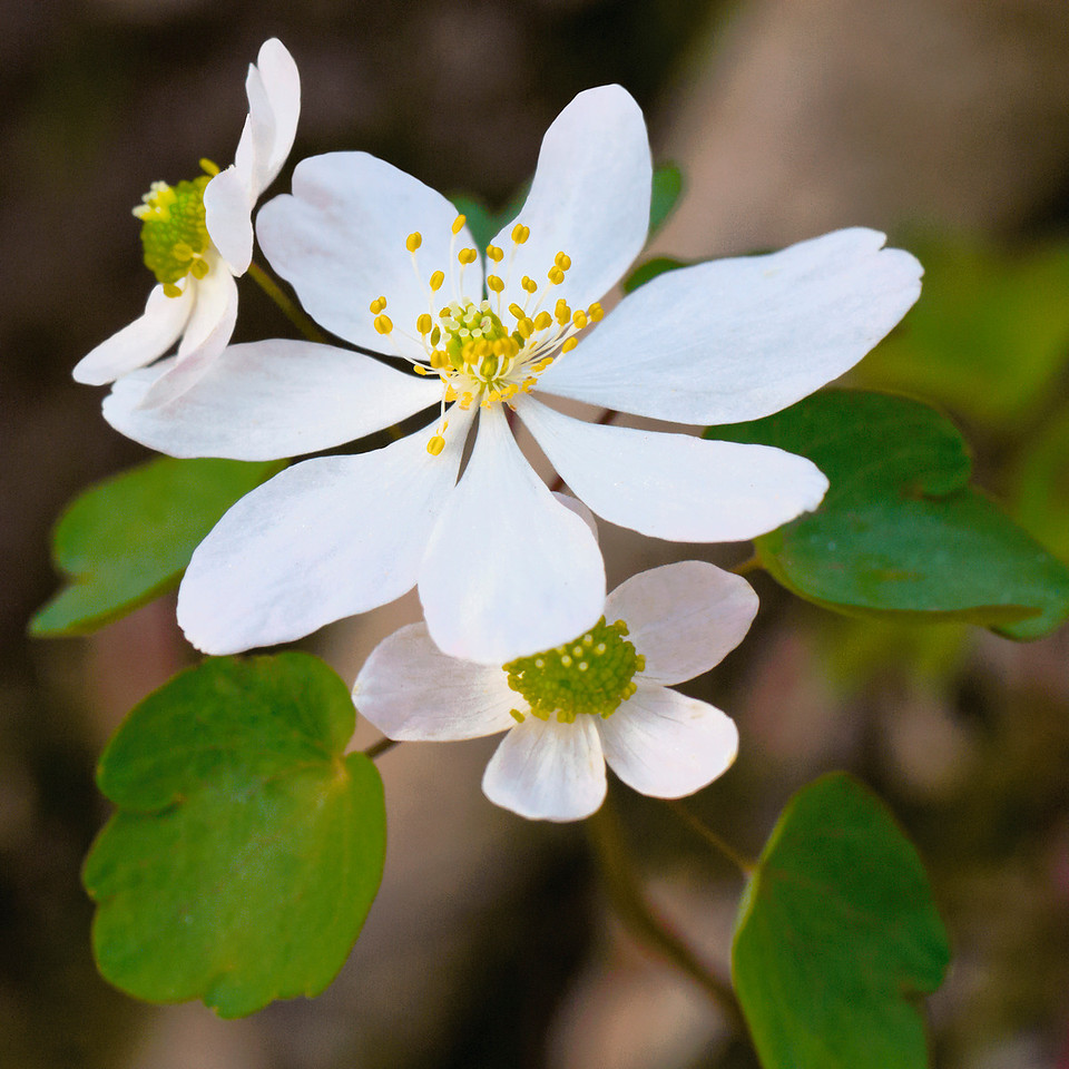 Anemonella thalictroides (rue anemone) is more of the most delicate of the woodland wildflowers, admired for both its graceful flowers and its fernlike foliage.