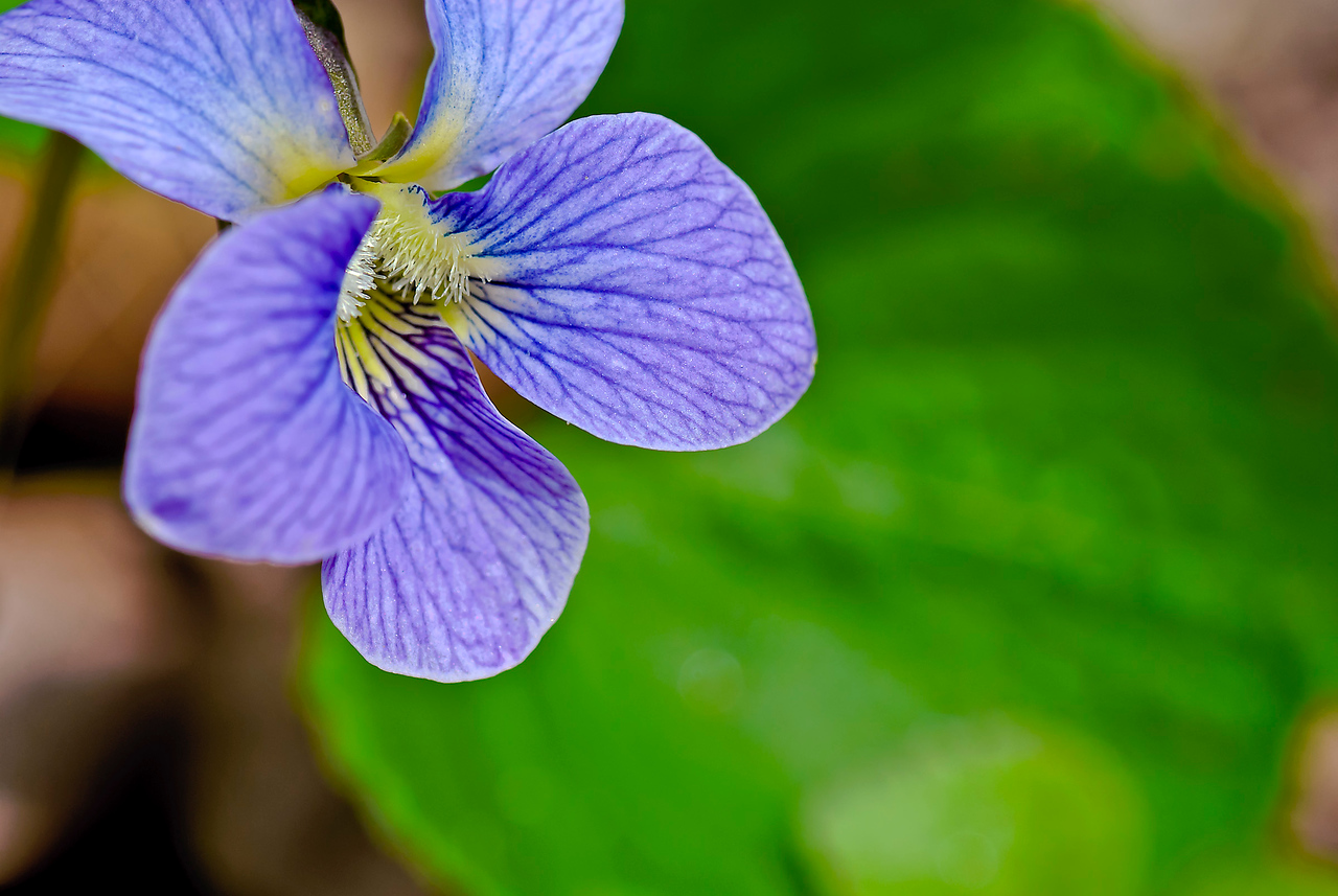 A beloved and common wildflower, wood violets (Viola soria) display furry-throated spurred blossoms above their heart-shaped green leaves.