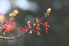 Maple seeds & buds_8951