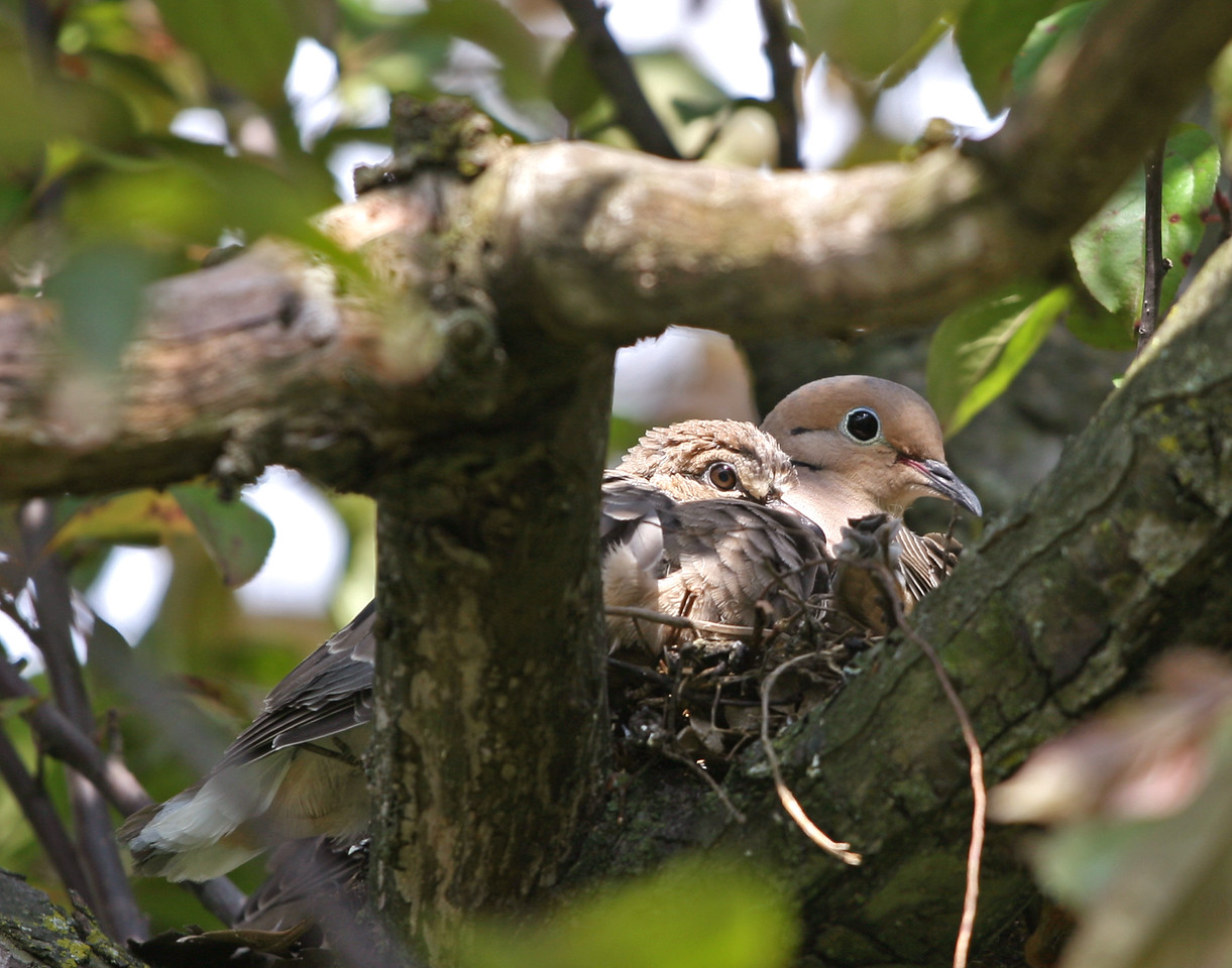 The doves are getting into the act too..this nest is in our crabapple tree