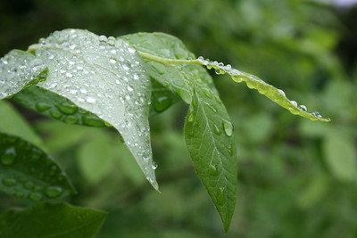 leaves after rain III