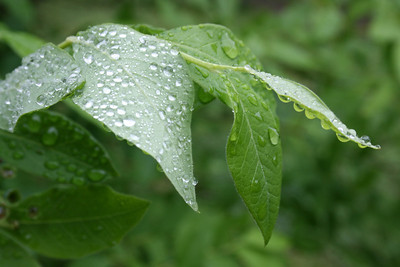 leaves after rain IV