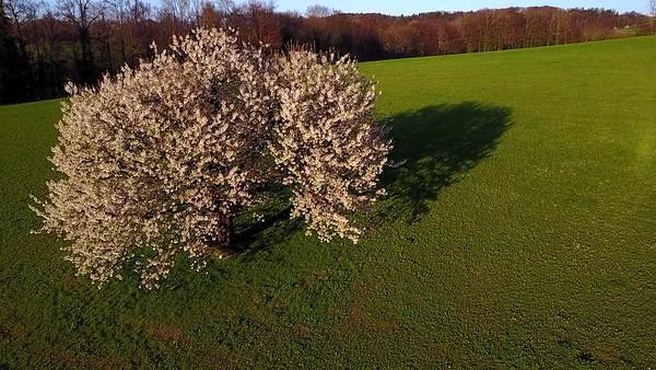 Aerial video travelling arround the big tree