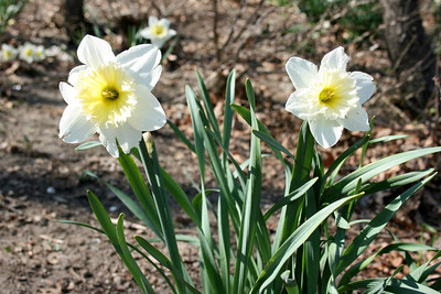happiness of daffodils