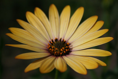 african daisy, II
