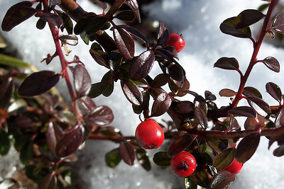 glistening berries