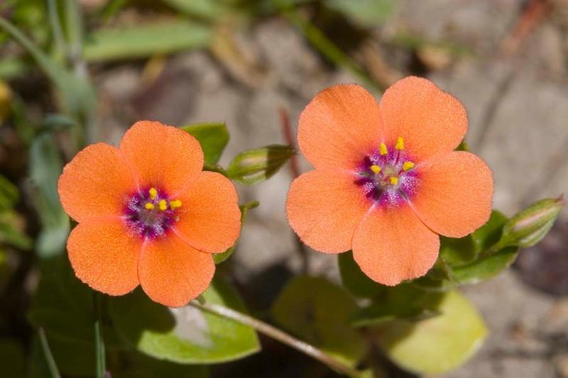 Orange WldFlr9457