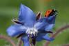 Blue Borage with ladybug