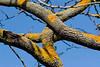 TreeLichen3621