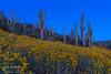 Saguaro and yellow wildflowers near New River, Arizona, USA.