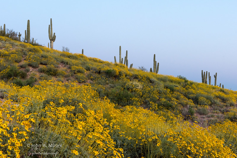 Yellow wildflowers and saguaro cactus near New River, Arizona, USA.