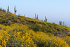 Yellow wildflowers and saguaro cactus near New River, Arizona, USA.