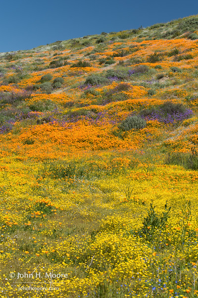 Fields of California poppies, Arroyo lupine, and California goldfields at Diamond Valley Lake, California.