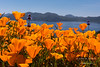 California poppies overlook Diamond Valley Lake in Southern California.