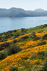 A boat cruises Diamond Valley Lake past hillsides covered in California poppies.  Southern California.