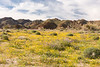 Wildflowers bloom on the south slope near the southern entrance to Joshua Tree National Park.