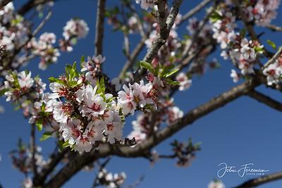 Almond Blossom, Antequera