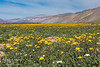 A field of desert sunflowers along Henderson Canyon Road in Anza-Borrego Desert State Park.