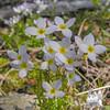 Alpine Bluet (Houstonia caerulea)
