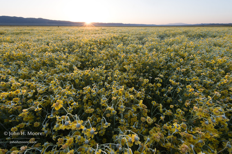 Hillside Daisies (Monolopia lanceolata) at sunrise after an overnight frost in Carrizo Plain National Monument