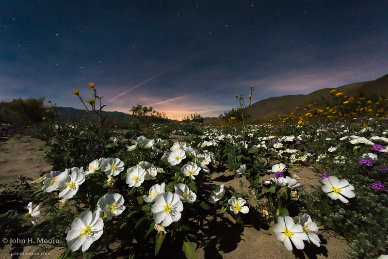 Dune evening primrose under the night sky at Anza-Borrego Desert State Park, California.