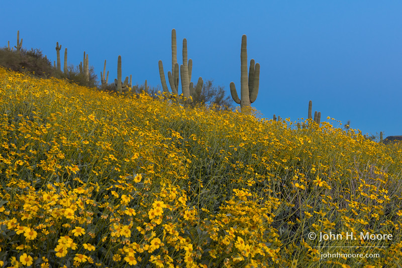 Wildflowers in the desert north of Phoenix, Arizona.