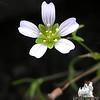Glabrous Sandwort (Minaurtia glabra)