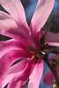 Pink Magnolia4216 copy