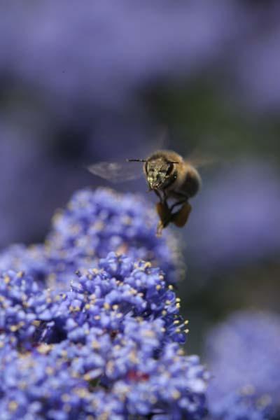 Ceanothus Bee