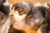 chick0106