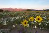 Dandelions greet the morning sun in Anza-Borrego Desert State Park, California.