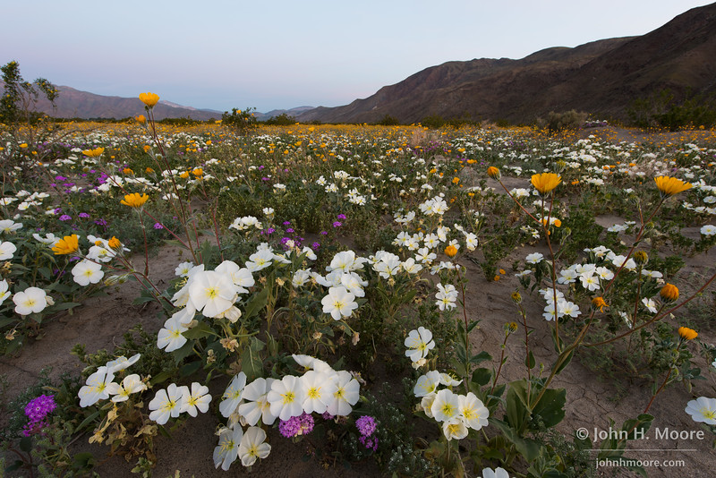 Dune evening primrose mixed with other spring wildflowers at Anza-Borrego Desert State Park, California.