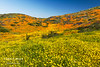 Mixed wildflowers cover a hillside in Southern California.