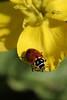 Buttercuo and Ladybug