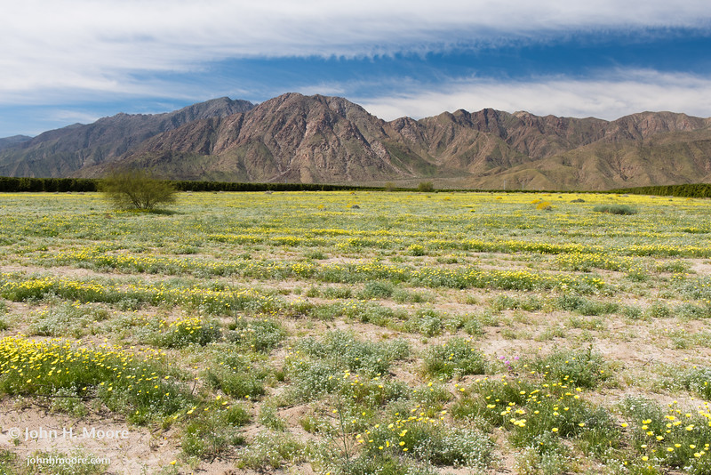 A field of desert dandelions along DiGorgio Road in Borrego Springs, California, USA.