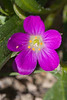 purplewldflr9450