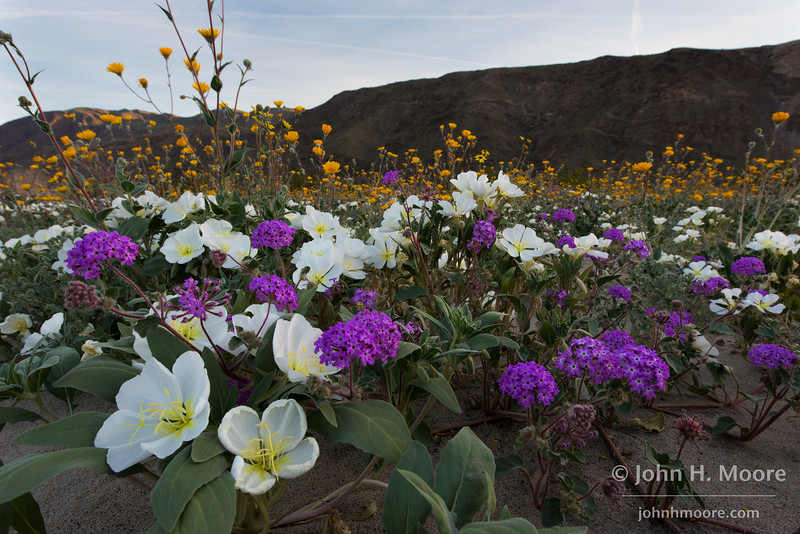 Dune evening primrose, desert sand verbena, and desert sunflowers off Henderson Canyon Road in Anza-Borrego Desert State Park, California.