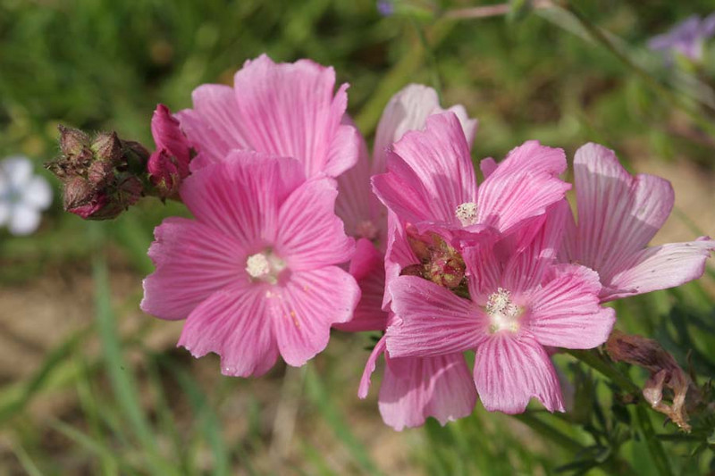 Checkerbloom on Horse HIll Mill Valley